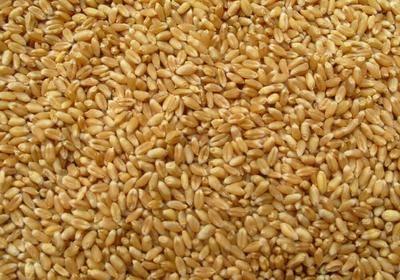 山西省運城市永濟市 大量供應優質小麥