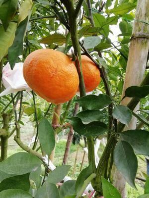 四川省眉山市仁壽縣明日見柑橘苗 嫁接苗 0.2~0.35米