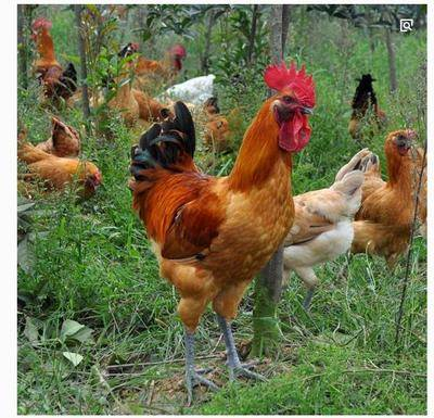 安徽省宿州市靈璧縣 公雞