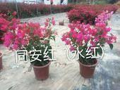 福建省漳州市龍海市 同安紅(水紅)三角梅小紅盆