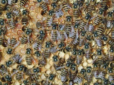 四川省成都市郫縣中華蜜蜂 中蜂