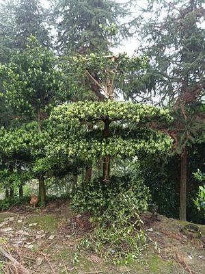 湖南省婁底市雙峰縣 羅漢松又名招財樹,四季常綠,價格美麗,歡迎前來選