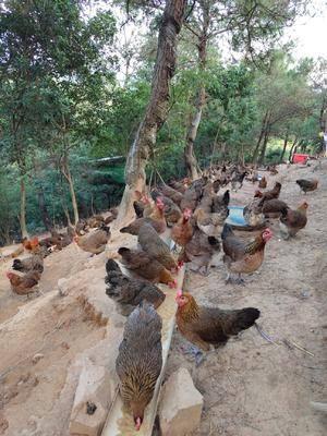 廣西壯族自治區貴港市港北區土雞 3-4斤 母