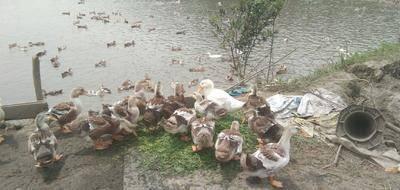江西省宜春市袁州區 我家的肉麻鴨半散養半圈養,歡迎大家來訂購