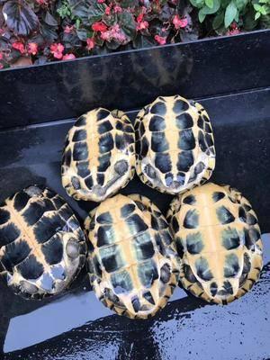 廣東省茂名市電白區 南石種龜