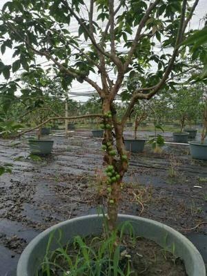 廣西壯族自治區欽州市靈山縣 四季早生嘉寶果。樹葡萄。