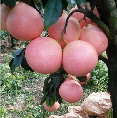 廣東省梅州市梅縣區梅州蜜柚 正宗梅縣蜜柚~三紅蜜柚~紅心蜜柚~三黃蜜柚
