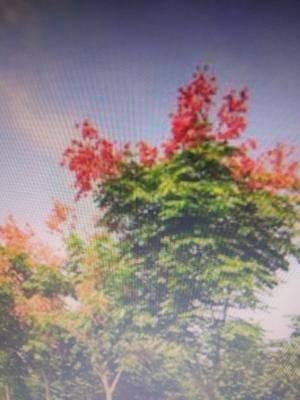 河南省開封市蘭考縣欒樹 20--30cm