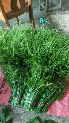 廣西壯族自治區百色市靖西縣 佛手瓜藤尖 20㎝-23㎝人工種植
