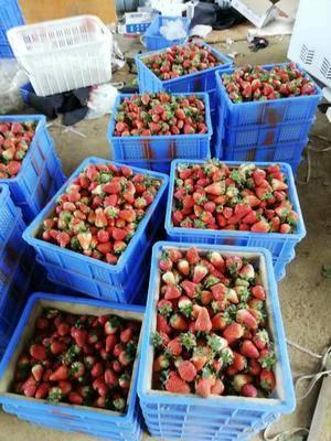 云南省曲靖市會澤縣 四季新鮮草莓大量現貨