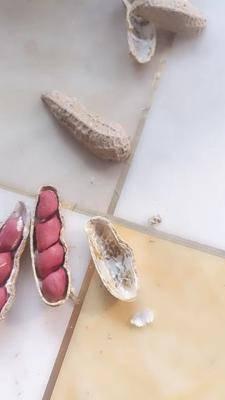 山東省濰坊市昌樂縣 新奇特 新品種 鮮甜純水果鮮食 花生種子