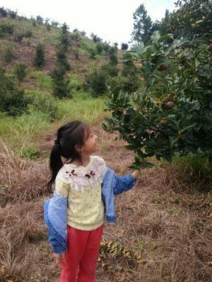 廣西壯族自治區河池市環江毛南族自治縣現榨山茶油 我的茶樹園和女兒