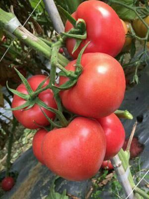 山東省青島市萊西市圣尼斯番茄種子 凱德夏麗越夏精品,硬粉深粉紅色
