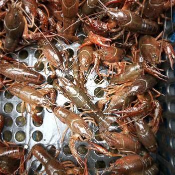 野生小龍蝦 7-9錢 人工養殖