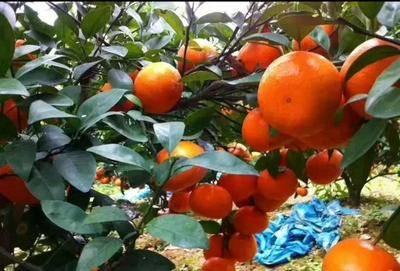 廣西壯族自治區欽州市靈山縣 無核沃柑苗