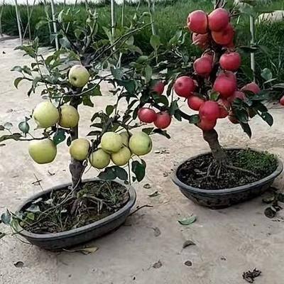 江蘇省鎮江市丹陽市 盆栽蘋果樹