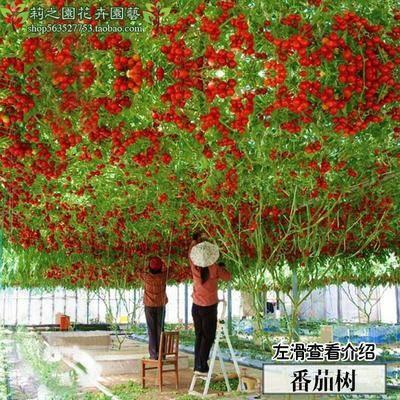 湖南省邵陽市邵東縣粉果番茄種子 番茄樹種子10粒/包