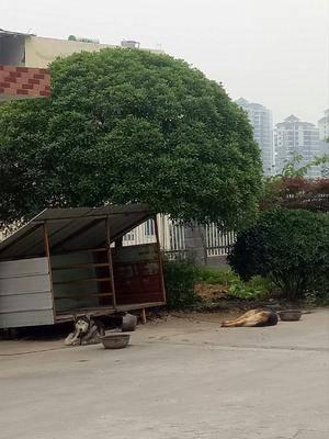 湖北省十堰市丹江口市 大量出售桂花樹苗