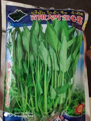 江蘇省宿遷市沭陽縣 大葉空心菜種子.商品性特好、脆甜美味、纖維極少、耐熱、耐濕
