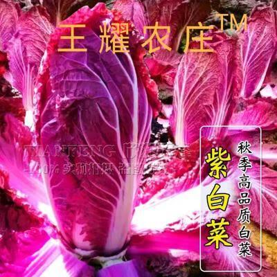 山東省濰坊市壽光市 新奇特 紫裔白菜種子韓國原裝正品