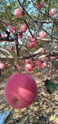 陜西省延安市宜川縣紅富士蘋果 75mm以上 片紅 紙袋