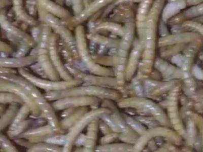 廣東省深圳市寶安區黃粉蟲 貨真價實