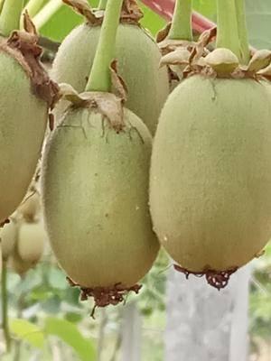 四川省成都市蒲江縣紅心獼猴桃 紅心,自家園子,全人工授粉,果子光亮大個希望各位老板到園子摘
