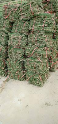 海南省海口市龍華區 綠化草坪銷售
