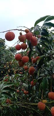 廣東省茂名市高州市白糖罌荔枝 鮮紅的白糖罌,吃了包你滿意