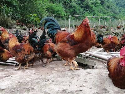 廣西壯族自治區賀州市平桂區 正宗瑤山土雞