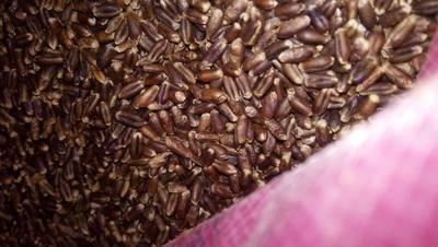 河北省石家莊市鹿泉區 優質50斤黑小麥