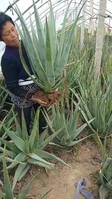 河南省周口市川匯區庫拉索蘆薈 20cm以上