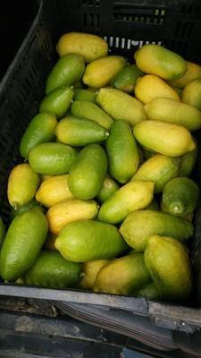 廣東省肇慶市懷集縣臺灣香水檸檬 長期有貨供應