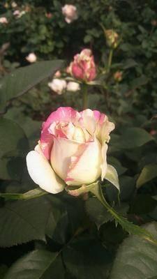 云南省昆明市呈貢區 切花觀賞玫瑰花苗批發零售