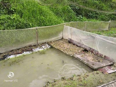 貴州省黔東南苗族侗族自治州劍河縣黑斑蛙 山泉水養殖,無污染品質佳,一手貨源。