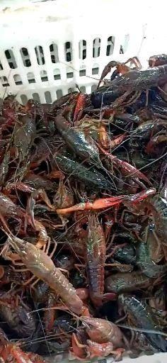 湖北省黃岡市黃梅縣 供應4567規格小龍蝦,保證成活率95%,質量過硬貨源充足