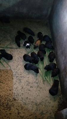 廣西壯族自治區玉林市興業縣豚鼠