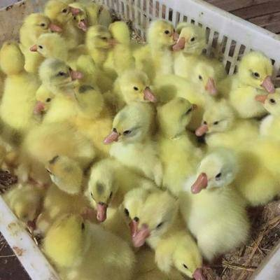 江蘇省徐州市銅山區大三花鵝苗 大白鵝出殼打疫苗