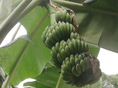 廣西壯族自治區南寧市江南區 招微商全國一件代發小米香蕉