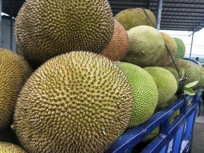廣東省茂名市高州市海南菠蘿蜜 海南金包波羅蜜
