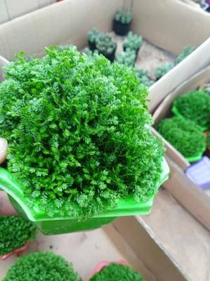 山東省臨沂市平邑縣 矮化,帶盆發貨,一顆也包郵,綠地球