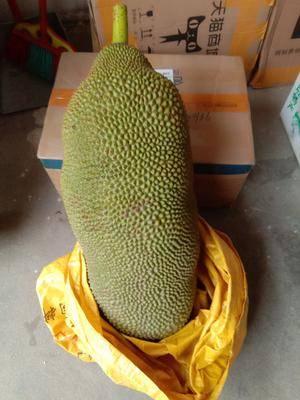 廣東省茂名市電白區 我能提供漂亮的菠蘿蜜,香甜,好吃