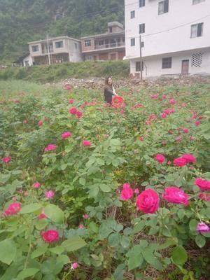 貴州省遵義市習水縣玫瑰醬 玫瑰花糖