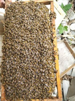 四川省成都市新津縣 蜜蜂土蜂