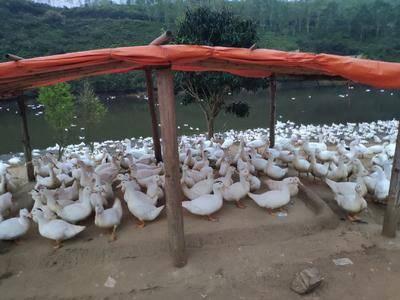 湖北省鄂州市華容區 肉鴨