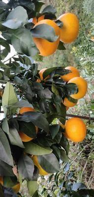廣西壯族自治區桂林市平樂縣紅美人柑桔苗 紅美人柑橘苗