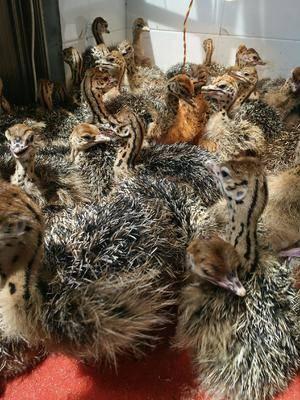 山東省濟寧市嘉祥縣文鳥 非洲鴕鳥苗 鴕鳥蛋 鴯鹋 成年大鴕鳥
