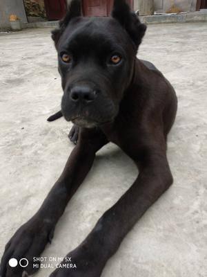 福建省三明市尤溪縣卡斯羅犬