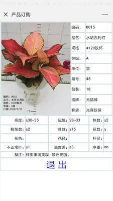 廣東省廣州市荔灣區如意萬年青 水培如意吉利紅,膠杯裝和瓷盆裝