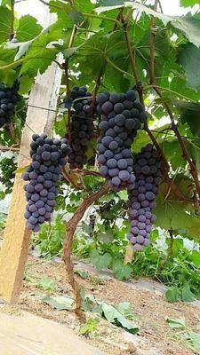 云南省紅河哈尼族彝族自治州彌勒市夏黑葡萄 0.8-1斤 10%以下 1次果